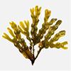 ヒバマタ(海藻)抽出物